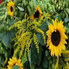 Neben einem Zweig der Goldrute blüht eine Sonnenblume im Vordergrund. Im Hintergrund sind zwei weitere kleinere zu sehen