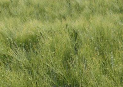"""Über mich: """"Mein"""" Feldweg – bei Wind bilden sich Wellen im Getreidefeld, was mich immer wieder fasziniert"""